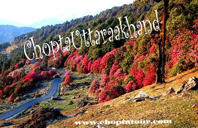 Chotpa Hill Station - This View of Chopta,uttarakhand during the spring.
