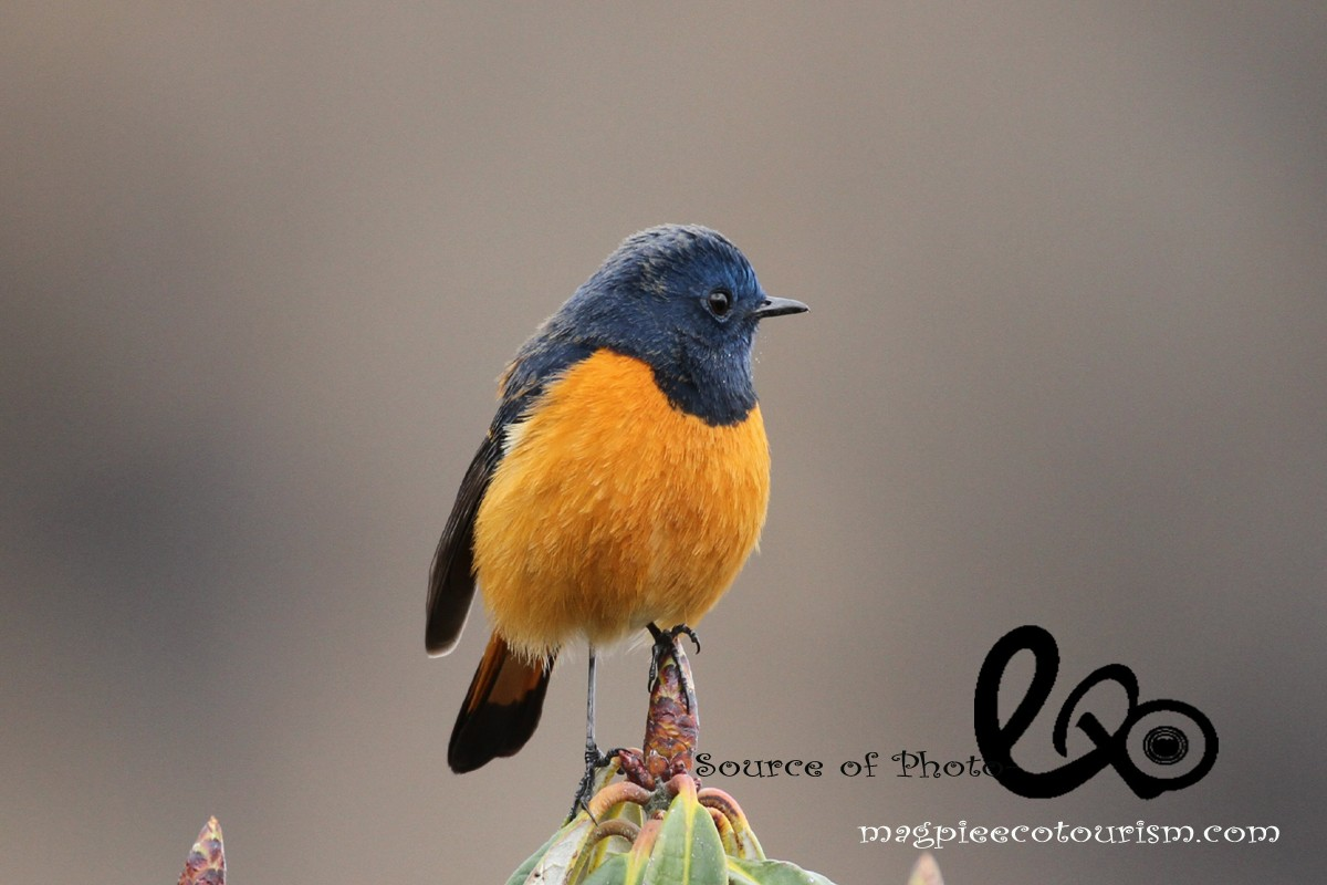 blue fronted red start in Chopta - Birding in Chopta